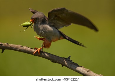 Small bird of prey, Red-footed Falcons, Falco vespertinus, male with big grasshopper prey in beak, on branch against green background. Hungary.