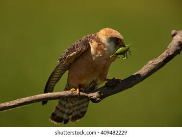 Small bird of prey, Red-footed Falcons, Falco vespertinus, female with big grasshopper prey in beak, on branch against green background. Hungary.