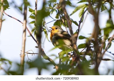 Birds Chirping Images, Stock Photos & Vectors | Shutterstock