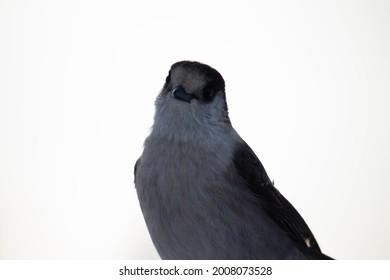 small bird tilting head in snowy mountainrange