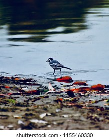 Small bird walking in the lake water isolated unique blurry photo