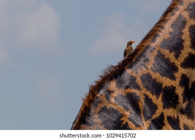 Small Bird with Yellow and Red Spout on Giraffe Neck
