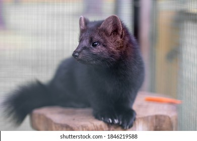 Small black animal European mink in a cage, behind bars.