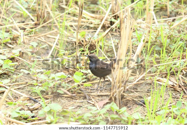 small black bird in fields