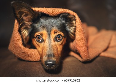 Small black and brown dog hiding under orange blanket on couch looking scared worried alert frightened afraid wide-eyed uncertain anxious uneasy distressed nervous tense with one ear peeking out