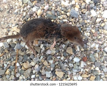 Small black brown shrew, shrew, shrew, lies dead on a gravel road,