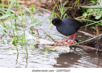 Small black crake eating a fish in shallow running water
