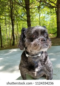 Small Black Cute Curly Hair Dog, With Personality, Posing On Concrete Driveway.