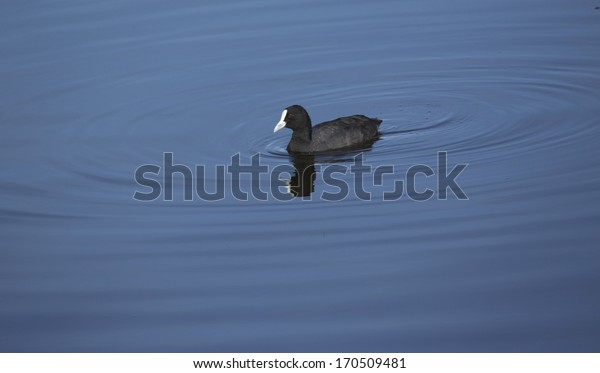 A small  black  Eurasian Coot (Fulica atra)  is  swimming in the calm lake in Big Swamp Bunbury western Australia on a sunny morning in mid summer.