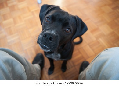 A small black female dog with floppy ears - a pitbull pointer mix - seating while staring at the owner with curiosity; brown eyes focus on the dog nose