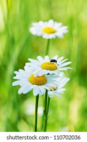 Small black fly on the camomile flower