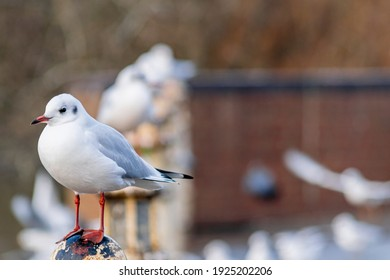 A small black headed gull in winter plumage sitting on an old metal pole by the lake, many seagulls in a row standing on poles in background, focus on the first bird,  litte sea bird with red legs