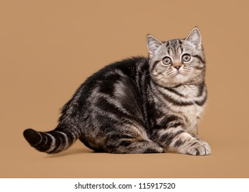 small black marble british kitten on light brown background