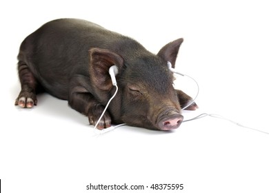 Small black pig lying down and listening to music through white headphones.