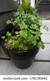 Small black pots of organic young coriander, also known as cilantro.