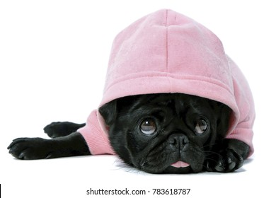 Small black pug puppy dog in pink clothes isolated on white background