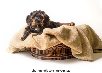 Small Black Shih Tzu mix breed dog canine lying down on dog bed basket blanket isolated on white while curious patient waiting watching sad uncertain alone sick lonely comfortable at home warm