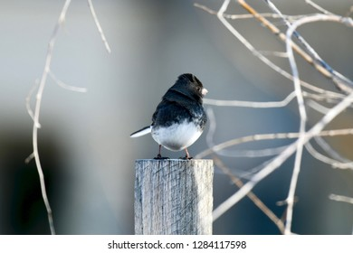 Small black and white bird during winter, MD, USA