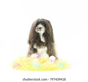 A small black and white dog is sitting behind yellow grass and Easter eggs on an isolated white background.