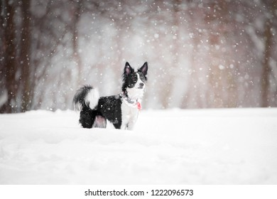 small black and white dog standing in snow