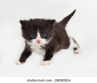 Small black and white fluffy kitten goes on gray background