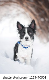 a small black and white half-breed dog froze to stand in the snow