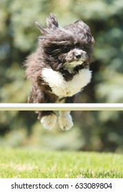 A small black and white Havanese dog jumping a pole at agility competition.