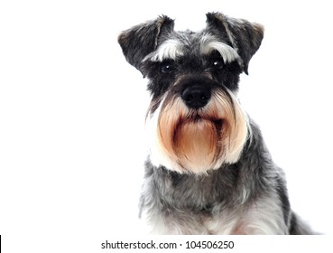 Small black and white miniature schnauzer dog looking at camera