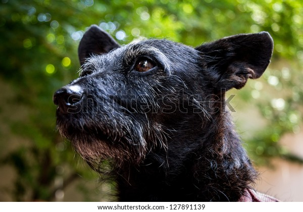 Small Black Wiry Terrier Dog Stock Photo Edit Now 127891139