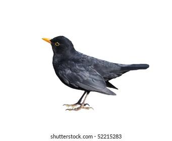 Small Blackbird Isolated on White