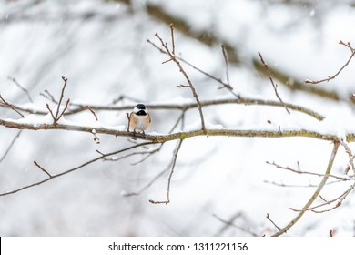 Small black-capped chickadee, poecile atricapillus, tit bird perched on tree branch in Virginia during winter snow weather snowflakes falling on orange feathers