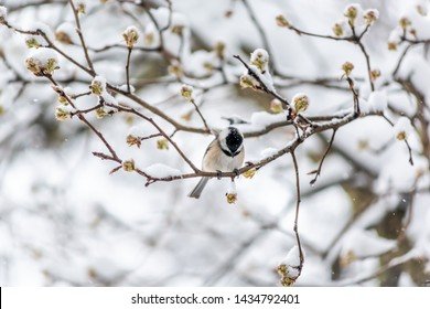 Small black-capped chickadee poecile atricapillus bird perched on tree branch during winter snow in Virginia, holding cracking sunflower seed by spring flower buds
