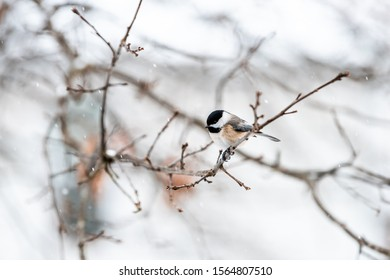 Small black-capped chickadee, poecile atricapillus, tiny one tit bird perching closeup on tree branch in Virginia during winter snow weather blurry background