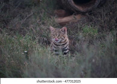 A small black-footed cat licking its lips in the safety of its hiding spot