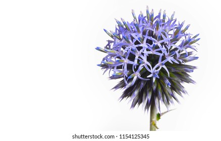 small blooming globe thistle on white background