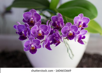 A small blooming purple orchid of genus phalaenopsis,variety Sogo Vivien, in ceramic pot. Closeup, selective focus. Home flowers