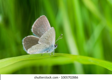 Small Blue Butterfly, Cupido minimus