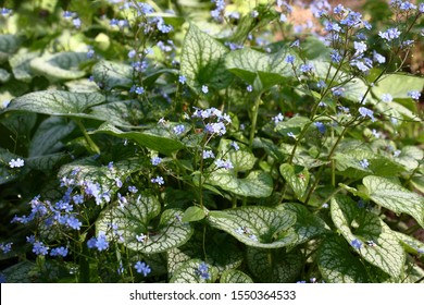Small blue flowers of a brunnera macrophylla of a grade Jack Frost soar over big leaves with the beautiful drawing.