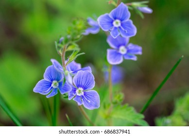 Small blue flowers (cranesbill) closeup