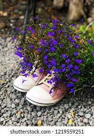Small blue flowers of lobelia, planted in old sneakers at the dacha, delight the eyes with warm autumn