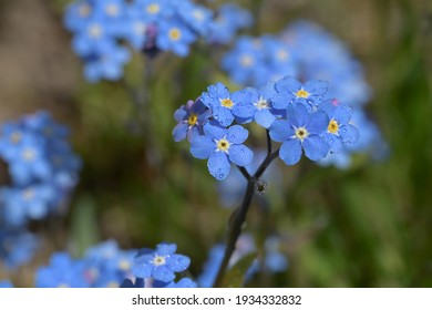 Small blue forget-me-nots in the country garden