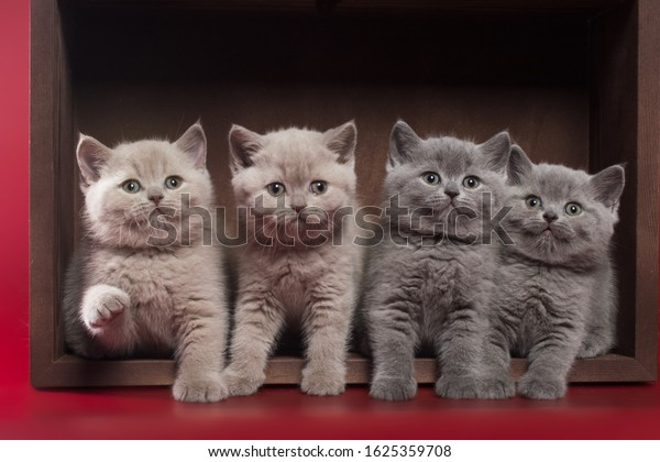 Small Blue Lilac British Shorthair Kittens Stock Photo Edit Now 1625359708