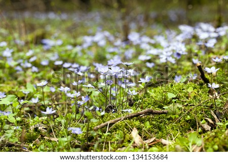Small Blue Spring Flowers Appearing Beginning Stock Photo Edit Now