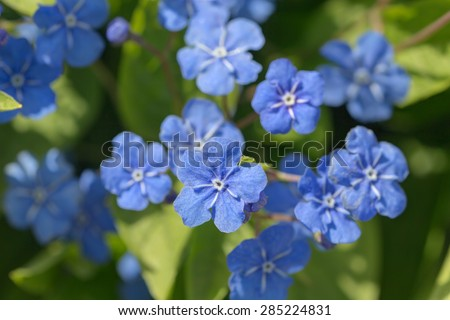 Small Blue Spring Flowers Close Omphalodes Stock Photo Edit Now