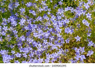 Small blue wildflowers in bloom, Australia.