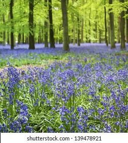 small bluebell flowers carpet the floor of ashridge woods near berkhamsted in the chiltern hills hertfordshire engalnd