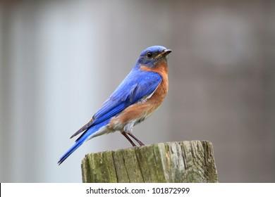 Small Bluebird sitting on a post