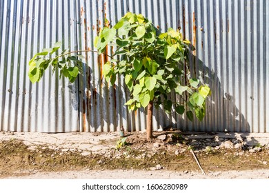 Small Bodhi tree grows beside of zinc fence. Bodhi tree can grows everywhere. Effort Concept. Bodhi or Peepal Leaf from the Bodhi tree. Little Peepal tree was born everwhere.Peepal Is Remedy For Skin.