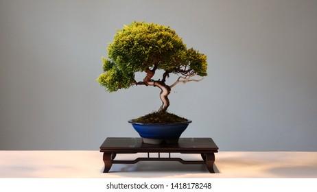 Small bonsai in a blue pot