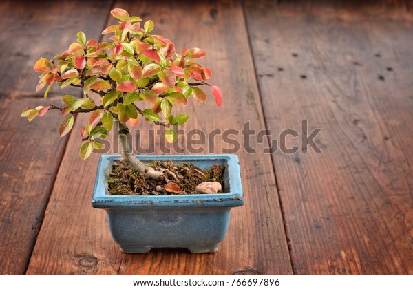 Small bonsai Cotoneaster integerrimus in blue ceramic pot on wooden background. Bonsai with autumn leaves. Copy space